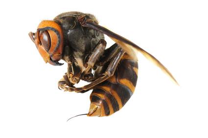 Jad pszczeli